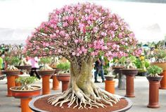 Picture Of best trees for bonsai and how to care for them  18