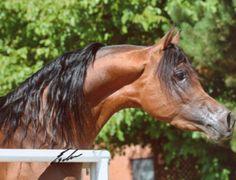 Alzeer Al Rayyan (Alidaar x RN Farida) 2002 bay SE stallion bred by Al Rayyan Farm, Qatar