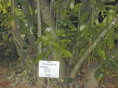 yohimbe plant picture - Google-søgning