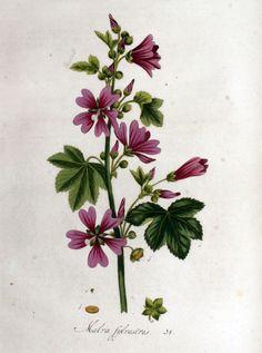 Malva Silvestris, Flora Batava, Volume 1 (1800)