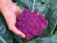 Purple of Sicily Cauliflower            Beautiful, brilliant purple heads weigh 2-3 lbs and are of ...