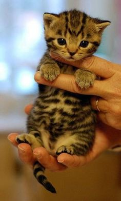 OMG this Bengal kitten is just sooo cute, what do you think?