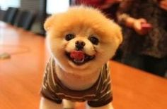 #Boo #Dogs #Puppies