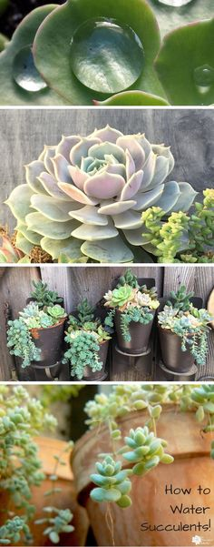 to Water Succulents - Your Plants Will Tell You The secret to watering your succulents properly? Your plants will tell you exactly what they need! Pin now, read later - your succulents will appreciate it! :)The secret to watering your succulents properly? Crassula Succulent, Succulent Landscaping, Succulent Gardening, Planting Succulents, Planting Flowers, Succulent Plants, Watering Succulents, Indoor Gardening, Potted Plants