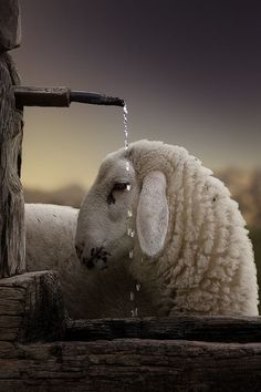 "our-amazing-world: "" Alpine sheep, Austri Amazing World beautiful amazing """