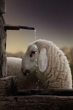 "our-amazing-world: "" Alpine sheep, Austri Amazing World beautiful amazing """