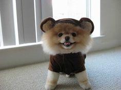 pomeranian in bear costume