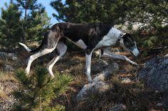 Hungarian Greyhound- Borka