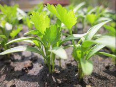 Como sembrar cilantro en casa