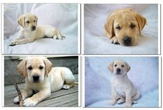 You can never have too many Labradors :)