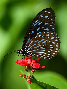 Butterfly - so naturally beautiful in color Papillon Butterfly, Butterfly Kisses, Butterfly Flowers, Butterfly Wings, Beautiful Bugs, Beautiful Butterflies, Naturally Beautiful, Flying Flowers, Float Like A Butterfly