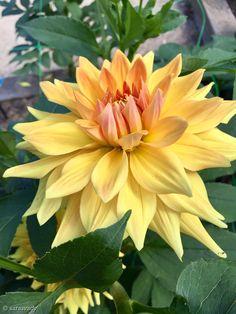 Chrysanthemums, Dahlias, Exotic Flowers, Beautiful Flowers, Dahlia Flower, Iphone Wallpaper, Roses, Gardening, Artist
