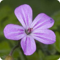 Herb-Robert(Geranium robertianum)