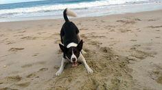 Dog on beach Australian Kelpie Border Collie cross