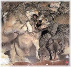 fighting wolves photo - Google Search