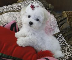 Look at my beautiful Baby maltese !.. we adore our puppies! www.texasteacuppuppy.com www.facebook.com/facebook.com