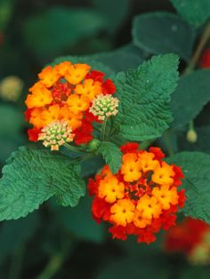 Lantana - if you want to attract lots of butterflies and hummingbirds to your garden, plant Lantana.