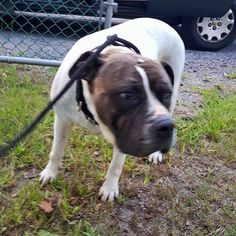 North Stonington Animal Control added 3 new photos. FOUND  IN THE NORTH STONINGTON VILLAGE  FEMALE AMERICAN BULLDOG MIX WEARING A THICK BLACK NYLON COLLAR NO TAGS NO MICROCHIP  PLEASE CONTACT NORTH STONINGTON ANIMAL CONTROL TO REDEEM  860 287-2197  https://www.facebook.com/LedyardLostandFoundPets/posts/747165342055897