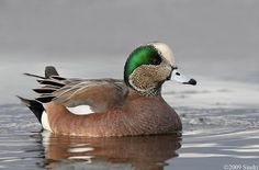 American-Wigeon image by Sindri