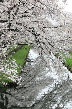 Cerisiers pleureurs à #Kawagoe #Tokyo #Japon #Sakura Miyazaki Film, Tokyo, Sakura, City Photo, Bullet Journal, Main Street, Small Towns, Cherry Blossom, The Visitors