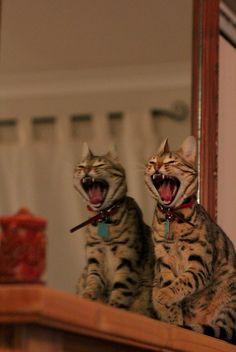mostlycatsmostly:  Yawning Devils (by thestourman)
