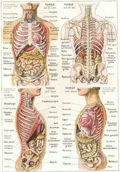 abdomen et thorax The Human Body, Human Body Organs, Human Body Anatomy, Human Anatomy And Physiology, Body Anatomy Organs, Anatomy Drawing, Anatomy Art, Human Body Diagram, Medical Anatomy
