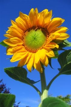 No coração de quem faz a guerra nascerá uma flor amarela....