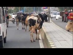The holy cows in India are legendary. Not only that they may not be killed, they also are not supposed to be restrained, which leads to the typical picture of cows roaming around freely wherever th…