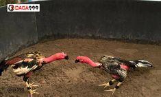 Nếu bạn là một người tìm hiểu về các giống gà chiến Việt Nam không thể nào bỏ qua gà chọi Thái Bình. Giống gà này từ xưa đã được rất nhiều người ưa chuộng và giá thành khá cao. Vậy giống gà này có gì đặc biệt? Cùng chúng tôi tìm hiểu trong bài viết dưới đây nhé! #gà_chọi_thái_bình Animals, Animales, Animaux, Animal Memes, Animal, Animais, Dieren