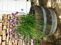ciboulette de mon jardin