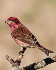 Hawfinch, Bird Gif, Finches, Kinds Of Birds, Backyard Birds, Wild Birds, Beautiful Birds, Blue Bird, Purple