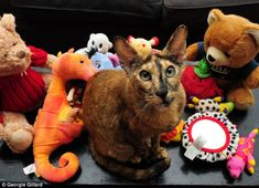 The tortie oriental pedigree treated her owners to 17 toys in a single month, that she stole from neighbors. 😄