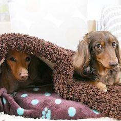 Good morning❤Friday😍バニちゃん潜り、ショコラは上✨我が家のベッドの使い方🎵半分ずつ🌹✨#ダックスフンド #ミニチュアダックスフンド #愛犬 #ショコラ #チョコタンダックス #バニラ #スムースダックス#dachshund #dachshunds #dachshundsofinstagram #dogs #dog #dogs_of_instagram #ig_dogphoto #instadog #doxie #doxielove #cute #cutepetclub #lovely #lovelydog #doglover #chocola #vanilla #smoothcoat #goodmorning