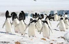 De acuerdo a una investigación, el Cambio Climático está siendo su principal amenaza, ya que el Calentamiento Global ha generado el deshielo en la Antártida, y el desplazamiento del iceberg B09B es un ejemplo de ello, lo cual seguirá afectando a la población de estas aves.  De las 18 especies de pingüinos, los Adelia son los más pequeños. Su nombre proviene de Terre Adélie, región de la Antártida donde fueron encontrados por primera vez en 1830 por el almirante francés Dumont d'Urville,...