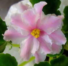 African Violet - Moonlight and Pink