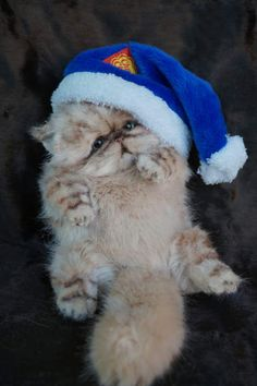 Persian kitten Barry By Tsybina Natali - Bear Pile