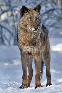Wolf: Respect the elders….Teach the young…Cooperate with the pack Play when you can…Hunt when you must…Rest in between Share your affections…Voice your feelings…Leave your mark