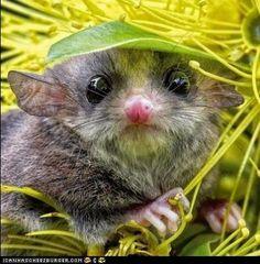 The pygmy possum of the Australian rainforest. You're a pygmy possum of the Australian rainforest. Animals And Pets, Baby Animals, Funny Animals, Cute Animals, Cute Creatures, Beautiful Creatures, Animals Beautiful, Little Critter, Mundo Animal