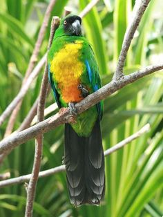 Masked Shining Parrot (Prosopeia personata) is endemic to the island of Viti Levu in Fiji.