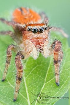 Phidippus cardinalis. If you want to live and thrive, let the spider run alive.