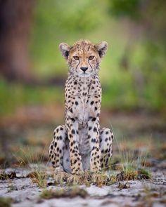 Life's little treasures | beautiful-wildlife:   Cheetah Cub, ZambiabyWill...