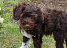 portugese water dog | Figo the Portuguese Water Dog | Puppies | Daily Puppy