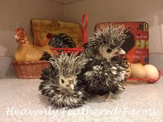 Little baby Silver Laced Frizzled Polish chicks!!!!!  <3