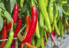 Chili lohnt sich immer im Garten