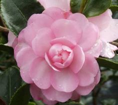 Pink Snow Camellia Camellia sasanqua 'Pink Snow' Produces pink semi-double petal blooms. The bloom is smaller ( about 3-4 inches across ), Blooms in fall ( Oct to Dec ). Dark glossy oblong pointed lea