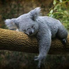 koala bear, Back to Sleep, Columbus Zoo, Ohio, photo by Tamara Kaylor