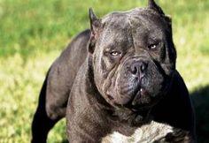 World's Largest Dogs - Gallery | eBaum's World Pitbull Dog Breed, Pitbull Facts, Blue Nose Pitbull, Bully Dog, Pitbull Terrier, Pitbull Animal, Bully Breed, Bullmastiff, Rhodesian Ridgeback