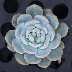 Echeveria 'Monroe' 梦露 2019-06-30 #多肉植物 #succulents #多肉 #echeveria #echeveriamonroe