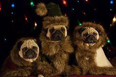 Pugs in Fancy Dress