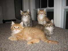 Regal Siberian kittens  regalsiberians.com